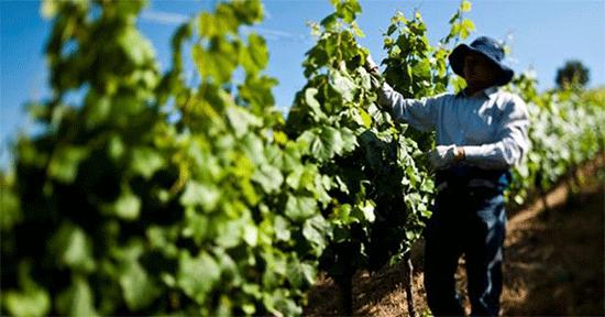 Cifras del vino chileno en Guatemala